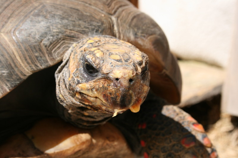 SLOW+AND+STEADY%3A+One+of+religion+teacher+Alec+Sixta%E2%80%99s+tortoises+slowly+makes+its+way+to+the+other+side+of+the+garden+in+which+the+tortoises+live.+%E2%80%9CYou%E2%80%99re+providing+a+base+for+these+creatures+of+the+earth%2C%E2%80%9D+Sixta+said.+%E2%80%9C%5BAnd+it%E2%80%99s%5D+nice+to+be+able+to+provide+a+space+where+they+can+just+like+walk+around+and+eat+way+more+food+than+they+can+actually+find+in+the+wild.%E2%80%9D