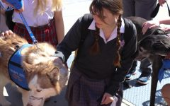 "PAWS WITH A CAUSE: Sophomore Elea Kerins pets a comfort dog on Wed., Feb. 26. According to Marlin, OC Animal Allies has about 150 dogs in their program that arrive in teams. He explains that there could be as many as 10 teams sent to a location. ""Our community outreach and education programs are PAL program works within hospital facilities to provide pet therapy to Orange County but more importantly we're also on the campuses at elementary, high school, and middle school students."" Marlin said. Photo by Valerie Kramer"