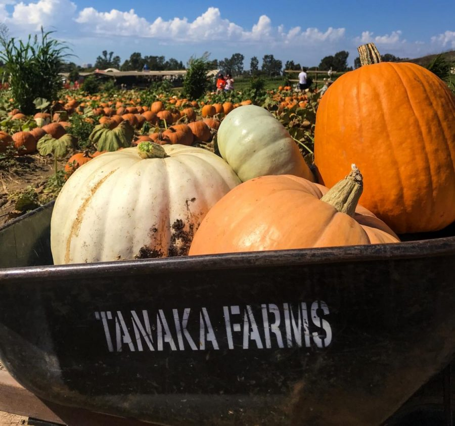 Pumpkin Picking: at Tanaka Farms patrons get the ability to venture into the crops of pumpkins and pick out the ones they want, you may have to take the pumpkin straight off of the vine. Wheelbarrows are provided so that you can easily maneuver the event while you pick out your pumpkins.