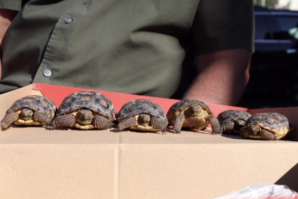 SINGLE FILE: Six baby tortoises - out of the 10 that Sixta takes care of - line up to get their picture taken.